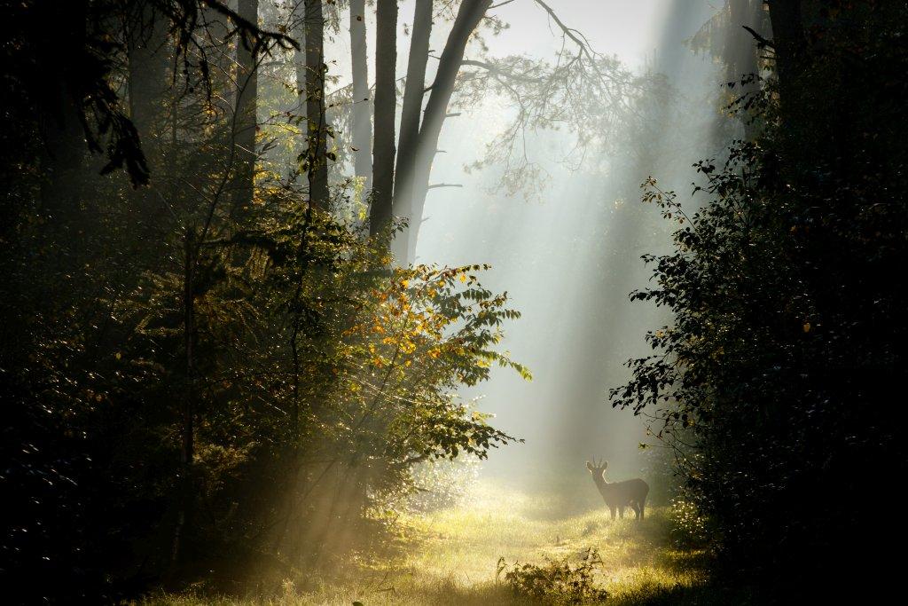 Surenburger Wald Bevergern Rehbock im Nebel
